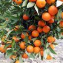 Требуются работники на сбор урожая (мандарины,апельсины)